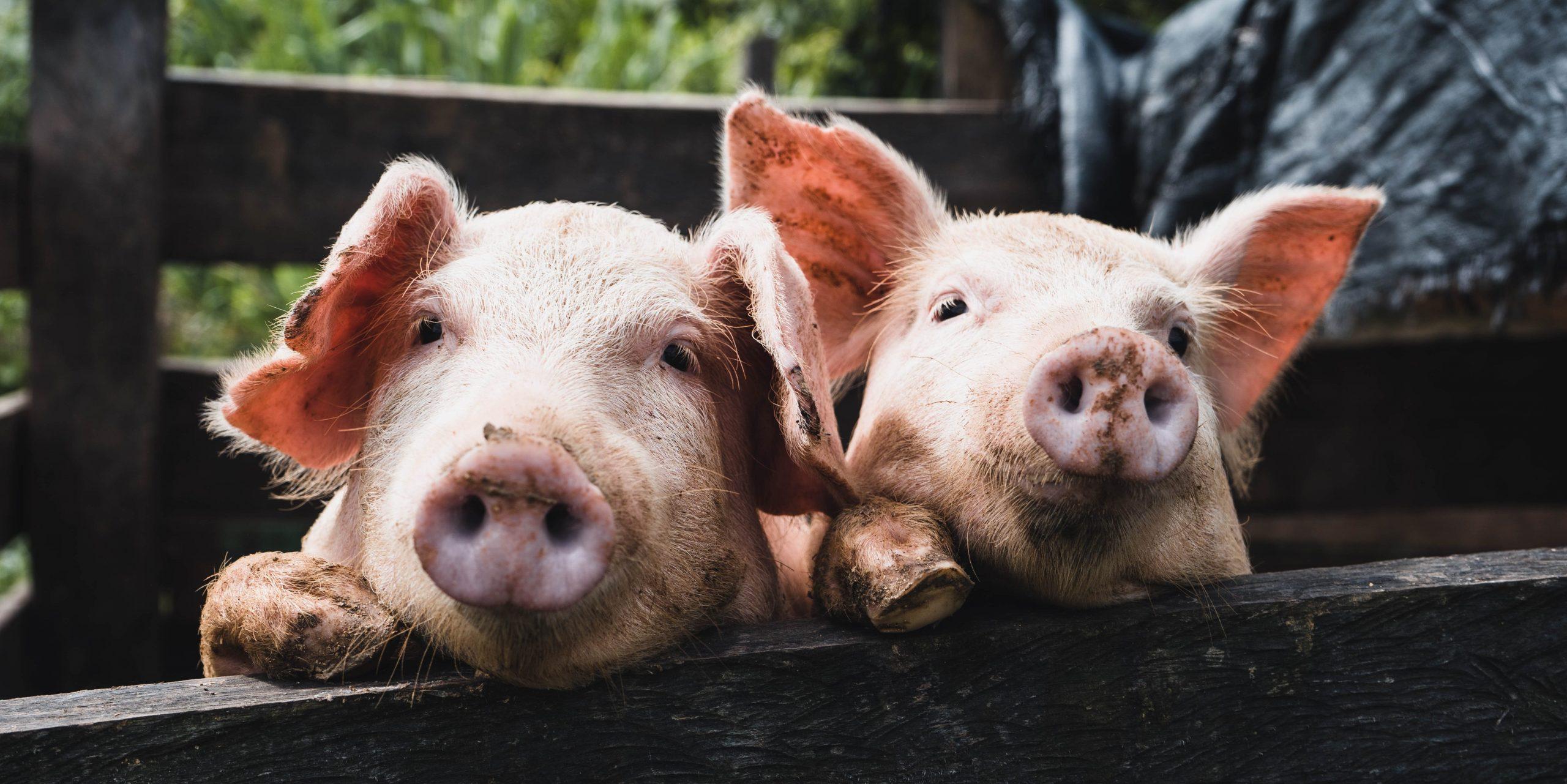 С 5G и роботами: Huawei анонсировала интеллектуальную платформу для выращивания свиней
